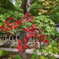 【信州紅葉情報】長円寺の紅葉情報 2019(平成31年)またまたすばらしい紅葉の季節に。カメラマン撮影スポットに大人気